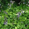 HostaHiddenSunset.jpg 720 x 960 px 400.21 kB