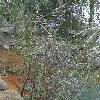 HoveaElliptica.jpg 720 x 960 px 471.52 kB