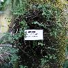 HumataTyermanii2.jpg 576 x 768 px 145.77 kB