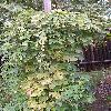 HumulusLupulus.jpg 600 x 936 px 181.94 kB