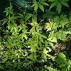 HumulusScandens2.jpg 615 x 820 px 154.91 kB