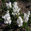 HyacinthusBenNevis.jpg 1127 x 845 px 204.3 kB