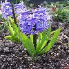 HyacinthusOrientalis3.jpg 615 x 820 px 146.05 kB