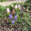 HyacinthusOrientalis.jpg 1024 x 768 px 328.62 kB
