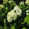 HydrangeaArborescens2.jpg 1024 x 768 px 191.1 kB