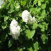 HydrangeaArborescensGrandiflora2.jpg 1024 x 768 px 183.27 kB