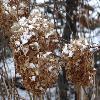 HydrangeaArborescensGrandiflora.jpg 1024 x 768 px 173.46 kB