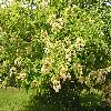 HydrangeaHeteromalla.jpg 1024 x 768 px 258.86 kB