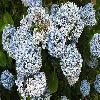 HydrangeaMacrophylla3.jpg 633 x 433 px 103.06 kB