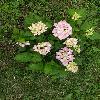 HydrangeaMacrophylla5.jpg 615 x 820 px 158.65 kB
