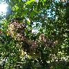 HydrangeaPaniculata2.jpg 1219 x 914 px 348.95 kB