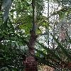 HyophorbeLagenicaulis7.jpg 720 x 960 px 445.44 kB