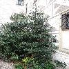 IlexAquifolium4.jpg 681 x 908 px 396.9 kB