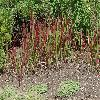 ImperataCilindricaRedBaron2.jpg 1024 x 768 px 358.87 kB