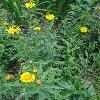 InulaSalicina.jpg 681 x 908 px 308.82 kB