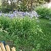 Iris9.jpg 638 x 850 px 198.42 kB