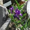 IrisAphylla3.jpg 1024 x 768 px 240.47 kB
