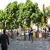 Jacaranda5.jpg 1110 x 833 px 260.23 kB