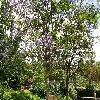 Jacaranda.jpg 1110 x 833 px 390.36 kB