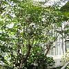 JatrophaMultifida2.jpg 576 x 768 px 183.95 kB