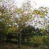 JuglansCinerea6.jpg 720 x 960 px 522.77 kB
