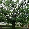 JuglansNigra2.jpg 630 x 840 px 196.45 kB