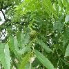 JuglansNigra4.jpg 1127 x 845 px 195.58 kB