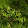 JuglansNigra7.jpg 681 x 908 px 503.14 kB