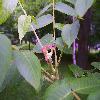 JuglansNigra8.jpg 681 x 908 px 464.76 kB