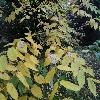 JuglansNigra9.jpg 1024 x 768 px 218.86 kB