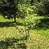 JuglansRegia5.jpg 615 x 820 px 192.6 kB