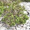 Juniperus3.jpg 576 x 768 px 190.71 kB
