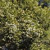 JuniperusCalifornica2.jpg 600 x 903 px 440.63 kB