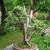 JuniperusChinensis2.jpg 634 x 711 px 162.89 kB