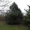 JuniperusChinensis3.jpg 1024 x 768 px 284.66 kB