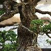JuniperusChinensis4.jpg 720 x 960 px 371.5 kB