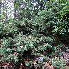 JuniperusChinensis5.jpg 1024 x 768 px 338.27 kB
