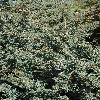 JuniperusChinensisBlueAlps.jpg 532 x 800 px 306.93 kB