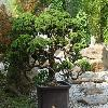 JuniperusChinensisEchiniformis.jpg 1024 x 768 px 284.66 kB