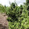 JuniperusChinensisKaizuka.jpg 1024 x 768 px 341.71 kB