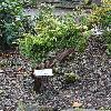 JuniperusChinensisPlumosaAurea.jpg 720 x 960 px 540.98 kB