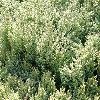 JuniperusChinensisStricta2.jpg 1120 x 840 px 343.13 kB