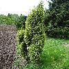 JuniperusChinensisStricta.jpg 681 x 908 px 451.69 kB