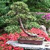 JuniperusChinensis.jpg 636 x 845 px 171.74 kB