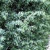 JuniperusCommunis3.jpg 576 x 768 px 181 kB