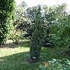JuniperusCommunisArnoldiana.jpg 681 x 908 px 452.4 kB