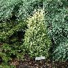 JuniperusCommunisGoldCone.jpg 638 x 850 px 223.67 kB