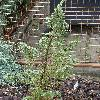 JuniperusCommunisGoldMachangel.jpg 638 x 850 px 195.77 kB