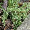 JuniperusCommunisGreenCarpet.jpg 1127 x 845 px 235.42 kB
