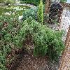JuniperusCommunisHorstmann.jpg 1024 x 768 px 319.76 kB